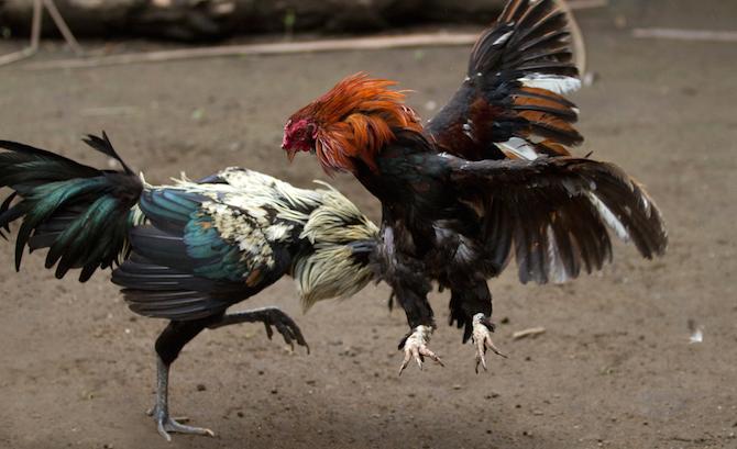 Aturan Sabung Ayam