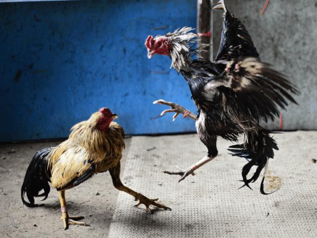 Pengertian Judi Sabung Ayam Untuk Pemula